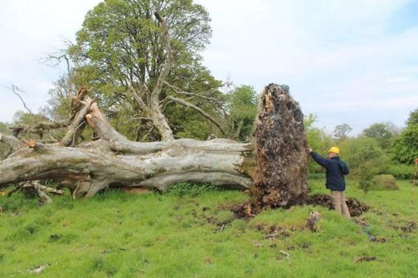 Irlanda, maltempo sradica albero secolare. Sotto le radici una raccapricciante scoperta