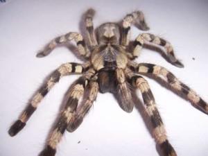 Perù, morso all'orecchio da un ragno mentre era in bagno: adesso lotta per sopravvivere