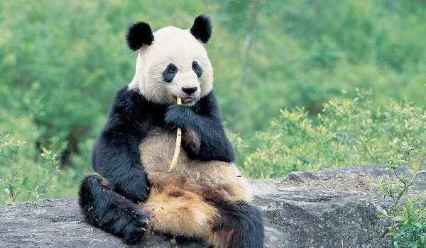 Cina: dichiarato protetto l'habitat del panda gigante, accolte le denunce di Greenpeace