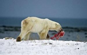 Russia shock, lancia cane vivo in pasto ad orso polare: gli animalisti chiedono giustizia