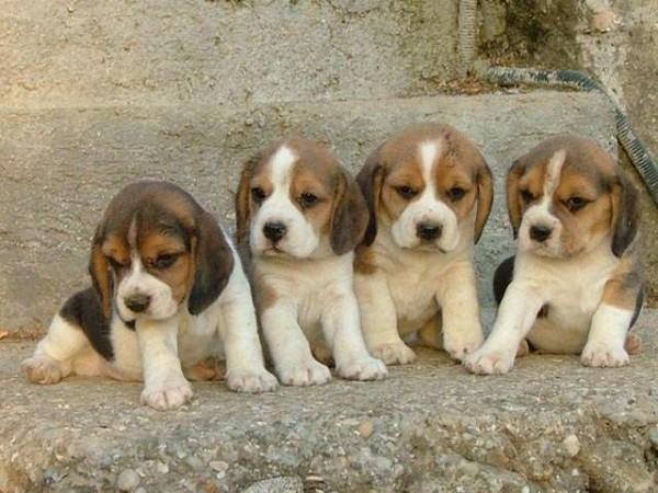 Cani in provetta, nata la prima cucciolata: aiuteranno a curare le malattie dell'uomo