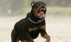 Milano, aggredito dal suo rottweiler bimbo di 8 anni che rischia la vita