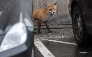 Degrado Roma Nord, invasa dalle volpi: attratte dall'immondizia e dai topi