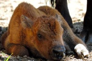 Usa, cucciolo bisonte salvato dalla strada da turisti: portato nel parco viene soppresso