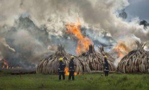 Lotta al bracconaggio, al rogo in Kenya 105 tonnellate di avorio
