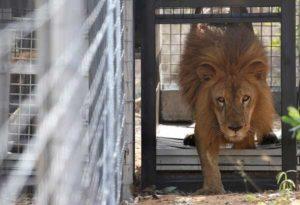 Cile shock, 20enne entra nudo nella gabbia dei leoni per suicidarsi: uccisi per salvarlo