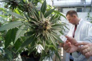 La cannabis medica legale non aumenta l'uso ricreativo