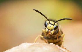 Scoperta una vespa aggressiva che trasforma i ragni in zombie